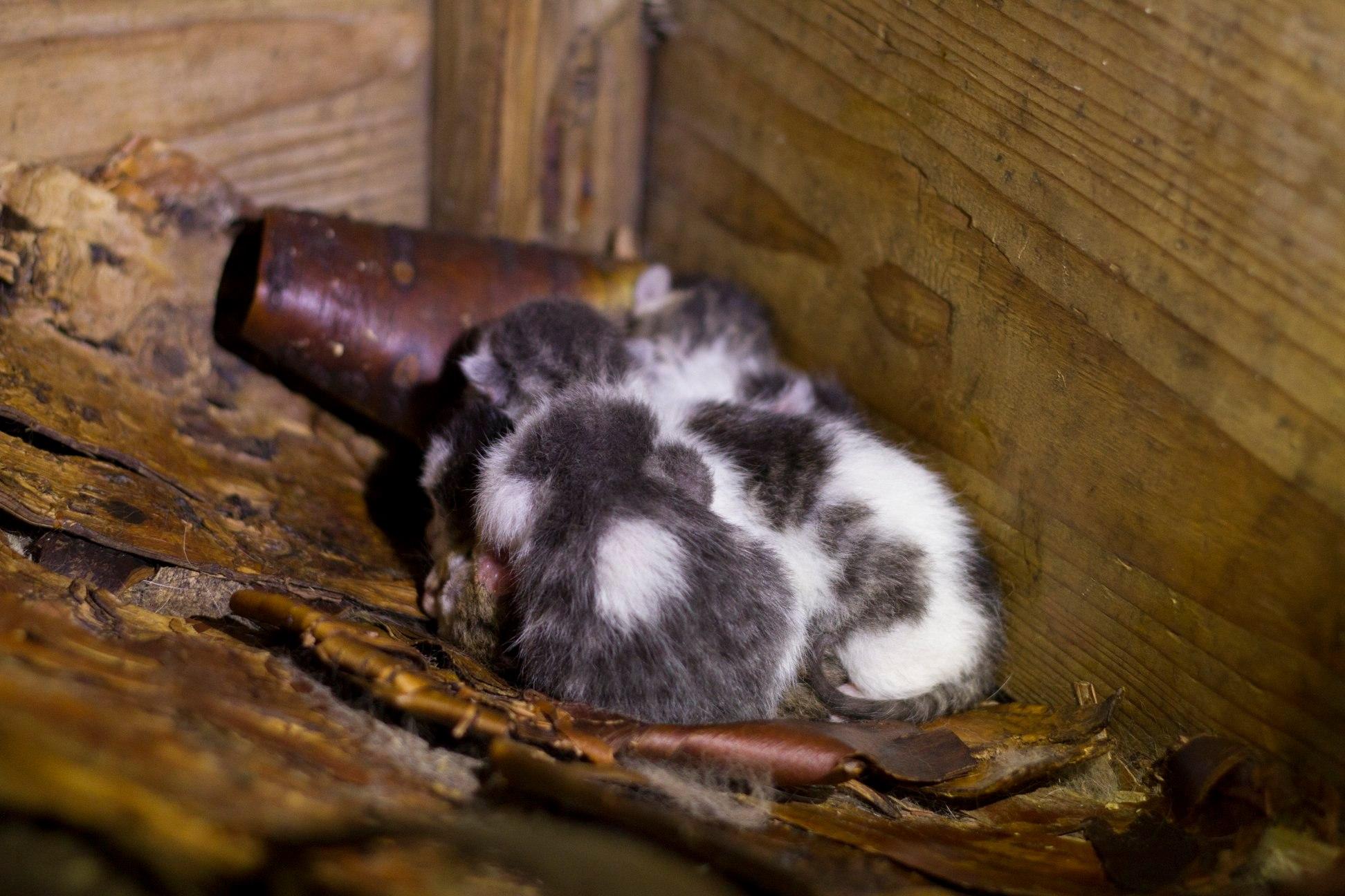 Noen søte små i en låve. De har ennå ikke åpnet øynene.